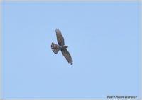 サシバ 青空に - 野鳥の素顔 <野鳥と・・・他、日々の出来事>
