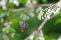 アオバセセリの求愛ショー - 蝶と蜻蛉の撮影日記