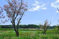 八重桜と成田エクスプレス・エアポート成田  - My B Side Life season2