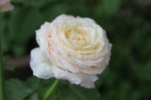 箱入り娘のように育てた完成度の高い切り花種のバラたち - バラの香り 4 seasons