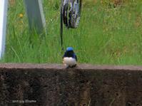 青い鳥/オオルリ - Photo Album