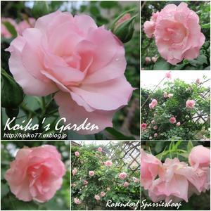 Koiko's Rose Collection 2017(4) 恋子のバラ - 恋子のガーデニング日記