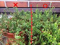 クランベリー 花芽が枯れる - 菜園部末席