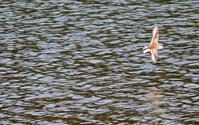 干潟のハマシギとメダイチドリ - ずっこけ鳥撮り日記