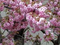 今年の桜は - 花折々