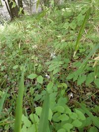 咲いていました「イカリソウ」 - 【出逢いの花々】