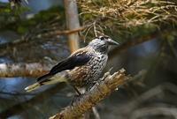 至近距離で:ホシガラス - 武蔵野の野鳥