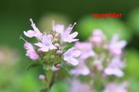 小さな木イブキジャコウソウ - ジージーライダーの自然彩彩