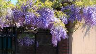 ※ みつけイングリッシュガーデンの藤の花 (1) - 気まぐれ写真工房 new