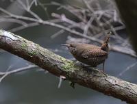 高原のミソサザイは元気に、、 - ぶらり探鳥