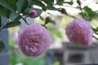 ピンクプロスペリティ 17-01 - まとまりの無い庭 excite版