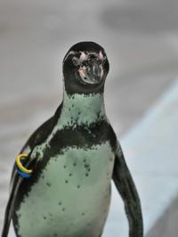ペンギンのアポロ - bonsoir