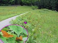 ウラギンヒョウモン初見 - 秩父の蝶