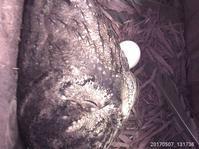 オオコノハズクの卵の大きさ - おらんくの自然満喫