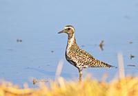 ・ムナグロ - 鳥見撮り