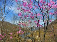 美し過ぎるアカヤシオ♪ 赤城山・鳥居峠で、今日の撮れたて! - 『私のデジタル写真眼』