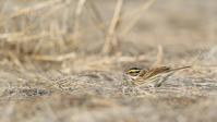 キマユホオジロ - 北の野鳥たち