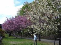 西野緑道の桜(その1) - 小さなお庭のある家