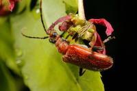 ピックニセハムシハナカミキリ 2 - Insect walk