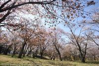 磯部桜川公園 山桜 - photograph3
