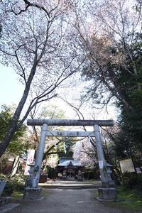 櫻川磯部稲村神社 桜 - photograph3
