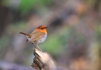 コマドリ - 鳥待ち写真日記
