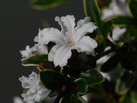 白丁花 - 南都☆花模様