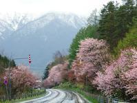 富良野サクラ街道 - ノラニンジンの咲く庭