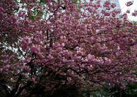 道庁前庭八重桜 - お茶にしませんか