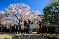 京都の桜2017 妙覚寺のしだれ桜 - 花景色-K.W.C. PhotoBlog