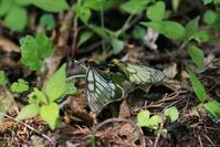 ウスバシロチョウ 見たさに(3) - 野山の住認たちⅡ