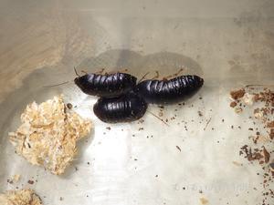 ヒメマルゴキブリ!?~あなたの知らないゴキブリの世界~ - むいむいのお時間