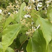 楠の花と道のかおり - 千葉のちいさなアロマ教室 マロウズハウス