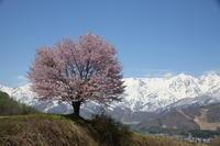 長野 白馬村 野平の一本桜 後半 - 日本あちこち撮り歩記