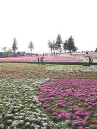 秩父の芝桜公園に行ってきました。 - (株)ハンモクのブログ