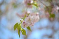 しだれ桜 - Imagine