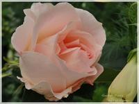 John's rose - Garden Diary