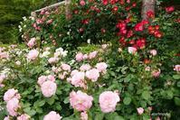 rose garden 1 - aco* mode