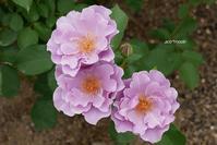 rose garden 2 - aco* mode