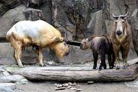 5月のゴールデンターキンの一家 - 動物園放浪記