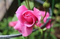 * 薔薇が咲くころ - * 雫 *