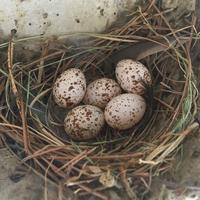 ついに5個目!産卵の瞬間動画も - モンスとツバメ2