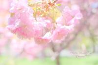 Cherry Blossom Ⅲ。 - Precious*恋するカメラ