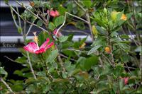 花の垣根 - 和む由もがな