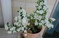 白丁花(ハクチョウゲ) - ヨモギ日記