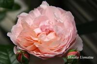 バラの季節 - ひつじの手仕事、日々のこと