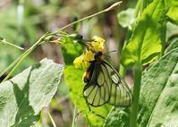 ウスバシロチョウとアオバセセリ - 公園昆虫記