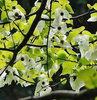 神戸市立森林植物園のハンカチノキ - たんぶーらんの戯言