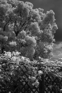 2017年5月20日 バラが咲く白い公園 - Silver Oblivion