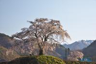 上発知の枝垂桜 4 - Patrappi annex